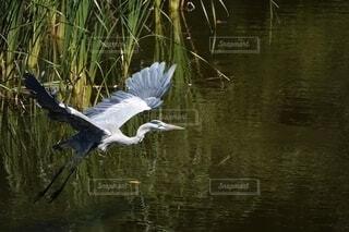 水面を飛ぶアオサギの写真・画像素材[4681239]