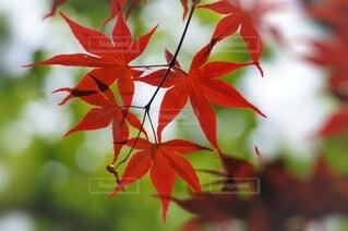 真っ赤な紅葉のクローズアップの写真・画像素材[4690971]