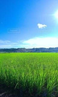 夏の稲田の風景写真の写真・画像素材[4691002]