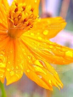 路地に咲く雨上がりの黄色い花の写真・画像素材[4736893]