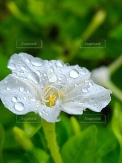 水滴を乗せる白いオシロイバナの写真・画像素材[4736899]