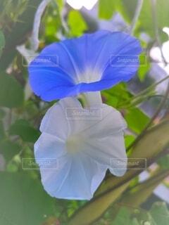 青と白の朝顔の写真・画像素材[4785913]