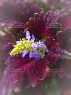 コレウスの花のクローズアップの写真・画像素材[4794140]
