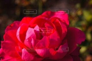 赤い薔薇のクローズアップの写真・画像素材[4794151]
