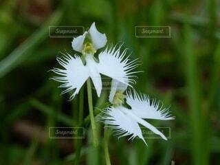 鷺草のクローズアップの写真・画像素材[4794157]