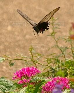 羽ばたき次の蜜を探すの写真・画像素材[4874422]
