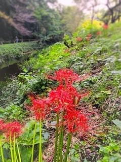 川沿いに咲く曼珠沙華の写真・画像素材[4874434]