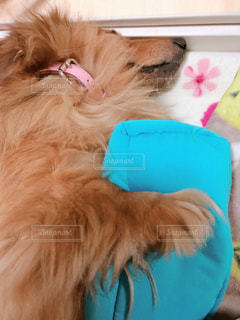 僕の枕だ!抱き枕を抱えながら寝てしまう犬の写真・画像素材[1151505]