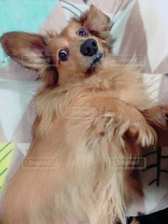 カメラを見つめて犬の写真・画像素材[1151531]