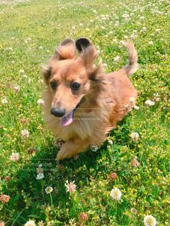 草原を嬉しくて駆け回る犬の写真・画像素材[1164182]