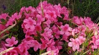 ピンクの花束のクローズアップの写真・画像素材[4602039]