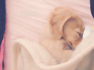 子犬のお昼寝タイムの写真・画像素材[4573838]