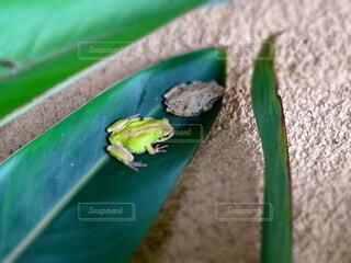2匹のカエルの写真・画像素材[4726082]