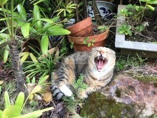吠える猫の写真・画像素材[4817882]