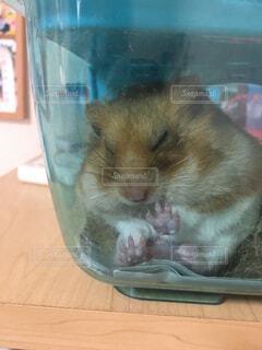 エサを頬袋に入れたまま寝るハムスターの写真・画像素材[4589368]