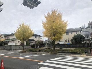 住宅街と横断歩道とイチョウの木の写真・画像素材[4617736]