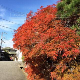 色鮮やかな紅葉の写真・画像素材[4620398]