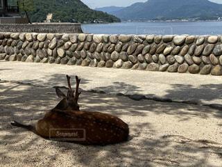 宮島の鹿の写真・画像素材[4670277]