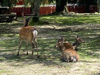 木陰で休む鹿の写真・画像素材[4670286]
