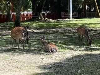 木陰でくつろぐ鹿の写真・画像素材[4670287]