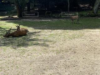 木陰で休む鹿の写真・画像素材[4670289]