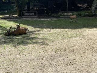 木陰で休む鹿の写真・画像素材[4670290]