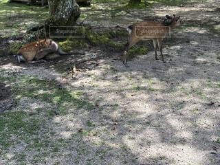 木陰で休む鹿の写真・画像素材[4670292]