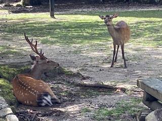 木陰で休む鹿の写真・画像素材[4670291]