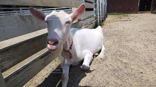 ニコニコ笑ってるヤギがいましたの写真・画像素材[4665260]