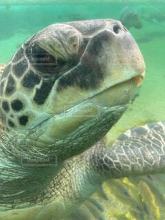 ウミガメのアップの写真・画像素材[4617403]