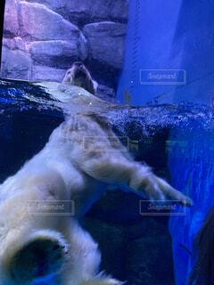 シロクマの泳ぎの写真・画像素材[4617421]