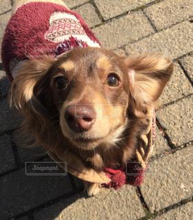 犬の写真・画像素材[204032]