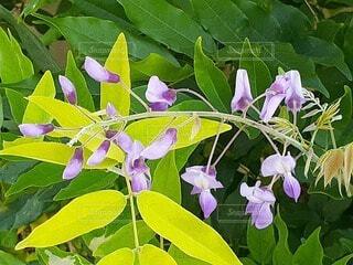 長細い紫の小花の写真・画像素材[4610185]