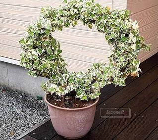 アイビーの鉢植えの写真・画像素材[4618259]