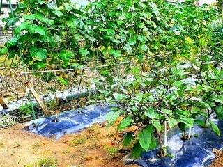 家庭菜園で育っている野菜の写真・画像素材[4629293]