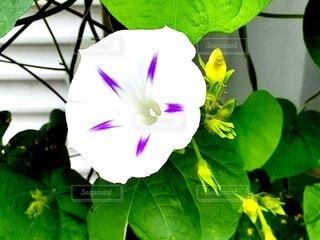 夏の白いアサガオの写真・画像素材[4630182]