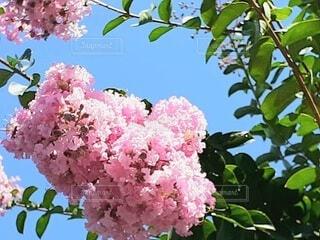 ピンクのサルスベリの花の写真・画像素材[4656867]