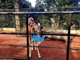 動物園のきりんの写真・画像素材[4676697]