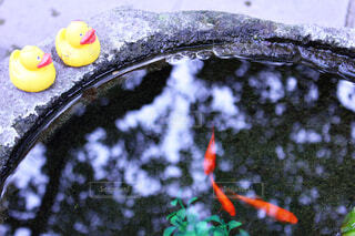 金魚に憧れる、おもちゃのアヒルの写真・画像素材[4607552]