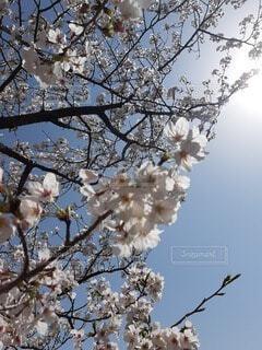 空を見上げたら大好きな桜の写真・画像素材[4608407]