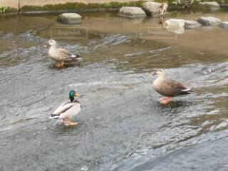鴨の写真・画像素材[4610443]