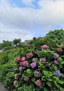紫陽花と青い空と雲の写真・画像素材[4620761]