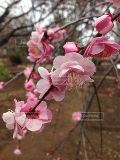 春の写真・画像素材[337966]