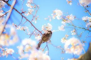 鳥と桜の写真・画像素材[4722307]