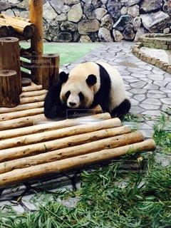 パンダの写真・画像素材[205705]