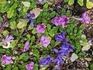 紫の花の写真・画像素材[4632789]