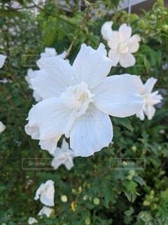 白い花の写真・画像素材[4842991]
