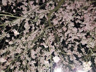 下から見上げた満開の夜桜の写真・画像素材[4634059]