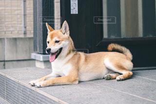 玄関先でくつろぐ犬の写真・画像素材[4624311]