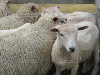 羊の群れの写真・画像素材[4645496]